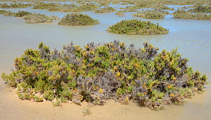 Glaucous glasswort (Arthrocnemum macrostachyum) bushes partly submerged by a high tide in a coastal lagoon, Sotavento, Fuerteventura, Canary Islands, May.  -  Nick Upton