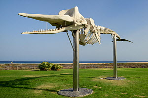 Skeleton of a Sperm whale (Physeter macrocephalus) on the seafront at Jandia Playa, one of a number of stranded whales exhibited around Fuerteventura by the 'Senda de los cetaceos' (path of the cetace...  -  Nick Upton