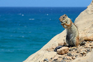 Barbary ground squirrel (Atlantoxerus getulus) on sea cliff edge with sea in the background, Fuerteventura, Canary Islands, May. - Nick Upton