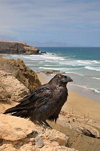 Canary Island Raven (Corvus corax tingitanus) adult perched on sea cliff edge with sea in the background, Fuerteventura, Canary Islands, May. This is the smallest subspecies of Raven, restricted to Mo... - Nick Upton
