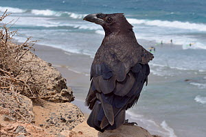 Canary Island Raven (Corvus corax tingitanus) adult perched on sea cliff edge with surfers in the background, Fuerteventura, Canary Islands, May. This is the smallest subspecies of Raven, restricted t... - Nick Upton