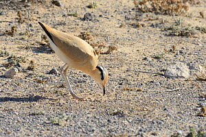 Cream-coloured courser (Cursorius cursor) bowing during courtship in steppe scrubland, Jandia Natural Park, Fuerteventura, Canary Islands, May. - Nick Upton