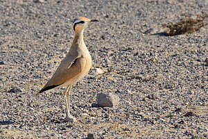 Cream-coloured courser (Cursorius cursor) standing upright during courtship in steppe scrubland, Jandia Natural Park, Fuerteventura, Canary Islands, May. - Nick Upton