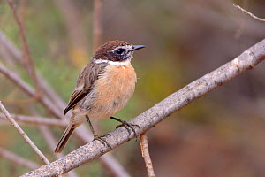 Canary Islands stonechat /  Fuerteventura chat (Saxicola dacotiae), endemic to the Canary Islands and now restricted to Fuerteventura, perched in a bush, Fuerteventura, Canary Islands, May. - Nick Upton