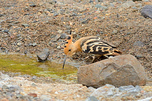 Hoopoe (Upupa epops), drinking from a rare water source, a small stream in the largely parched southwest part of the island, Fuerteventura, Canary Islands, May. - Nick Upton