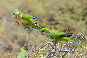 Two Monk parakeets (Myiopsitta monachus) perched on a bush in coastal scrubland, Fuerteventura, Canary Islands, May.  -  Nick Upton