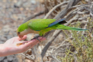 Monk parakeet (Myiopsitta monachus) eating peanuts in a tourist's hand, Fuerteventura, Canary Islands, May.  -  Nick Upton