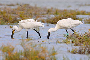 Two Eurasian spoonbills (Platalea leucorodia) foraging together in tidal marshland, one with a colour ring attached as a nestling in Denmark three years earlier, Sotavento lagoon, Fuerteventura, Canar...  -  Nick Upton