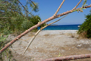 Stick insect (Bacillus atticus atticus), a coastal species of Southern Italy and Greece, in a Tamarisk tree (Tamarix sp.) growing behind a beach, near Astros, Arcadia, Peloponnese, Greece, July.  -  Nick Upton