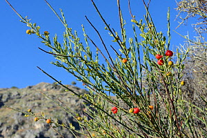 Poet's cassia / Osyris (Osyris alba) bush with red berries among coastal maquis scrubland. A plant in the mistletoe family semi-parasitic on the roots of other species, near Nafplio, Argolis, Peloponn... - Nick Upton