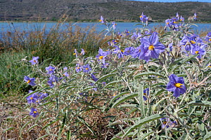 Silverleaf nightshade (Solanum elaeagnifolium) an invasive South and Central American species which produces toxic yellow fruits, flowering in profusion in roadside scrubland bordering a coastal lagoo...  -  Nick Upton