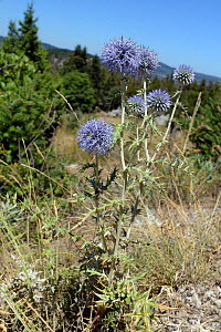 Spiny globe thistle (Echinops spinossissimus) flowering in limestone mountains, near Kosmas, Arcadia, Peloponnese, Greece, August. - Nick Upton