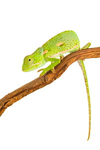 Flap-necked chameleon (Chamaeleo dilepis) from the Greater Gorongosa Ecosystem, Mozambique. Controlled conditions. - Jen Guyton