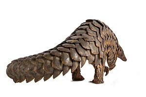 Cape pangolin (Smutsia temminckii) rear view; rescued from poachers, Gorongosa National Park, Mozambique. Photographed on white background before release.  -  Naskrecki & Guyton