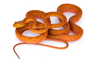 Speckled tree snake (Imantodes inornatus) from La Selva Biological Station, Costa Rica. Controlled condtions.  -  Jen Guyton