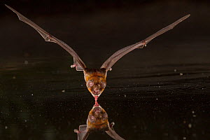 African trident bat (Triaenops afer) takes a drink at a pond in Gorongosa National Park, Mozambique. - Naskrecki & Guyton