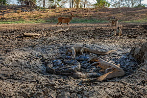 Nile monitor lizards (Varanus niloticus) converging on last remaining puddle of water in the Mussicadzi River to hunt Sharpooth catfish (Clarias gariepinus). Baboons (Papio sp.) and a busbuck (Tragela...  -  Naskrecki & Guyton