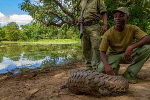 Park ranger releasing Ground pangolin (Smutsia temminckii) after rescuing it from poachers. Gorongosa National Park, Mozambique.  -  Jen Guyton