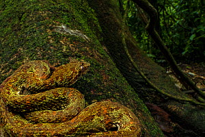 Eyelash viper (Bothriechis schlegelii) waiting for prey on tree, La Selva Biological Station, Costa Rica. - Jen Guyton
