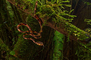 Blunt-headed tree snake (Imantodes cenchoa) juvenile tastes the air at La Selva Biological Station, Costa Rica. - Jen Guyton