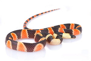 Calico snake (Oxyrhopus petolarius) juvenile, from La Selva Biological Station, Costa Rica. Controlled conditions. Non-venomous snakes mimic venomous coral snakes. - Jen Guyton