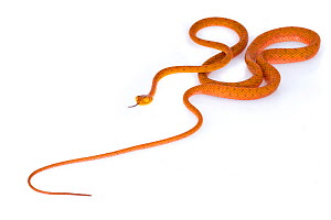 Speckled tree snake (Imantodes inornatus)  La Selva Biological Station, Costa Rica. Controlled conditions.  -  Jen Guyton