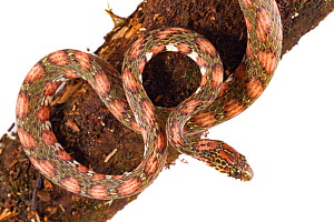 Lichen-colored snail-sucker snake (Sibon longifrenis) from La Selva Biological Station, Costa Rica. Controlled conditions. - Jen Guyton