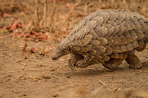 Cape pangolin / Temminck's ground pangolin (Smutsia temminckii) young female rescued from poachers by rangers at Gorongosa National Park, Mozambique.  -  Jen Guyton