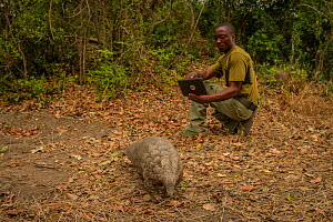 Ranger watching Cape pangolin / Temminck's ground pangolin (Smutsia temminckii) rescued from poachers, Gorongosa National Park, Mozambique. October 2017.  -  Jen Guyton