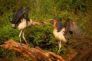 Marabou storks (Leptoptilos crumenifer) display as they fight for space along the banks of the Msicadzi River, Gorongosa National Park, Mozambique. During the dry season the river is reduced to a seri...  -  Jen Guyton