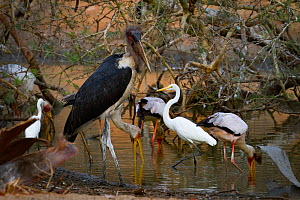 Great egret (Ardea alba), yellow-billed storks (Mycteria ibis), a marabou stork (Leptoptilos crumenifer), and a little egret (Egretta garzetta) all share a small patch of hunting ground during dry sea... - Jen Guyton