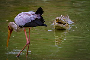 Nile crocodile (Crocodylus niloticus) emerging from the Msicadzi Rive  to swallow a mouthful of fish, whilst Yellow-billed stork (Mycteria ibis) scans for fish in the foreground.  Gorongosa National P... - Jen Guyton