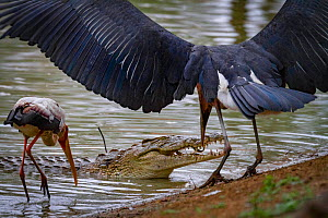 Marabou stork (Leptoptilos crumenifer) steals a small fish from between the jaws of a Nile crocodile (Crocodylus niloticus) whilst Yellow-billed stork (Mycteria ibis) watches on. Gorongosa National Pa... - Jen Guyton
