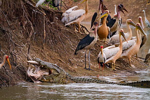 Nile crocodile (Crocodylus niloticus) eating Great white pelican (Pelecanus onocrotalus). With birds on the shore including pink-backed pelicans (Pelecanus rufescens), marabou storks (Leptoptilos crum... - Jen Guyton