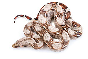 Pale morph Boa constrictor (Boa constrictor) from Tayrona National Park, Colombia. Controlled conditions. - Jen Guyton