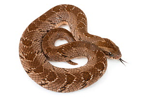 Snouted night adder (Causus defilippi) Greater Gorongosa Ecosystem, Mozambique. Controlled conditions.  -  Jen Guyton