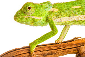 Flap-necked chameleon (Chamaeleo dilepis) with defensive coloration, Greater Gorongosa Ecosystem, Mozambique. Controlled conditions. - Jen Guyton