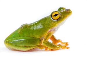 Green reed frog (Hyperolius tuberilinguis) from the Greater Gorongosa Ecosystem, Mozambique. Controlled conditions. - Jen Guyton