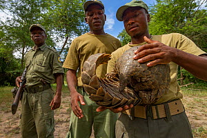 Park ranger holding a Cape pangolin / Temminck's ground pangolin  (Smutsia temminckii), rescued from poachers. This picture was taken shortly before freeing the pangolin. Gorongosa National Park, Moza...  -  Jen Guyton
