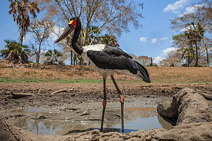 Saddle-billed stork (Ephippiorhynchus senegalensis)  in the last remaining puddle of water in the Mussicadzi River during the dry season,with  giant Sharpooth catfish (Clarias gariepinus) caught in th... - Naskrecki & Guyton