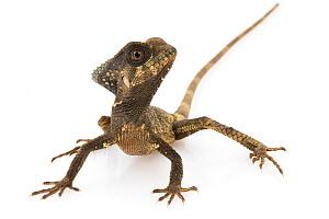 Helmeted iguana (Corytophanes cristatus) southern Puntarenas Province, Costa Rica. Controlled conditions.  -  Jen Guyton
