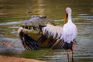 Nile crocodile (Crocodylus niloticus) with White pelican (Pelecanus onocrotalus) caught in mouth whilst a Yellow-billed stork (Mycteria ibis) looks on. Msicadzi River, Gorongosa National Park, Mozambi... - Jen Guyton