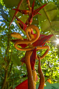 Speckled tree snake (Imantodes inornatus) on a Heliconia flower, La Selva Biological Station, Costa Rica. - Jen Guyton