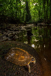 Brown wood turtle (Rhinoclemmys annulata) resting on a rock in a stream. La Selva Biological Station, Costa Rica, - Jen Guyton