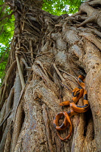 Eastern tiger snake (Telescopus semiannulatus) on a strangler fig (Ficus sp.) in Gorongosa National Park, Mozambique. - Jen Guyton