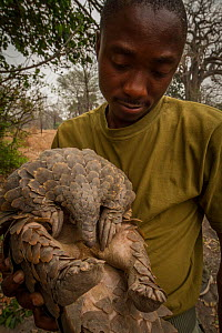 Cape pangolin (Smutsia temminckii) female, rescued from poachers by rangers, Gorongosa National Park, Mozambique.  -  Jen Guyton