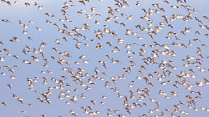 Large mixed flock of Knot (Calidris canutrus), Dunlin (Calidris alpina) and Golden plover (Pluvialis apricaria) in flight at high tide, Steart Marshes WWT Reserve, Somerset, England, UK, January.  -  John Waters