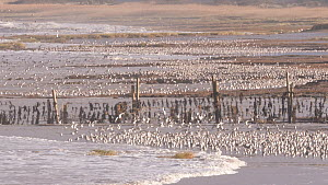 Large mixed flock of Knot (Calidris canutrus), Dunlin (Calidris alpina) and Golden plover (Pluvialis apricaria) gathered on shoreline at high tide, Steart Marshes WWT Reserve, Somerset, England, UK, J...  -  John Waters