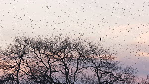 Common kestrel (Falco tinnunculus) perched in tree, with large flock of Common starlings (Sturnus vulgaris) flying to roost in background, Somerset Levels, England, UK, January.  -  John Waters