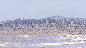 Mixed flock of Knot (Calidris canutrus), Dunlin (Calidris alpina) and Golden plover (Pluvialis apricaria) taking off from shoreline at high tide, Steart Marshes WWT Reserve, Somerset, England, UK, Jan...  -  John Waters